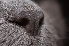My Nose. Macro shoot of a russian blues gray nose Royalty Free Stock Image