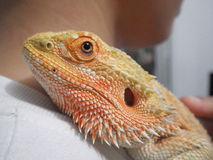 My pet. Bearded dragon australia royalty free stock images