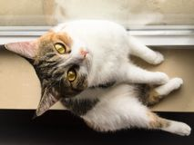 My pet cat. Huahua looked at us on the windowsill Royalty Free Stock Images