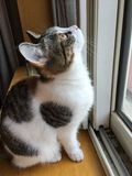 My pet cat. Huahua's another picture, looking out of the window Stock Photography