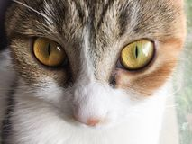 My pet cat. This is huahua's close-up photography Stock Photo
