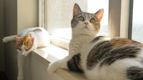 My pet cat. They were playing on the windowsill at home, looking what they were interested in Royalty Free Stock Photos