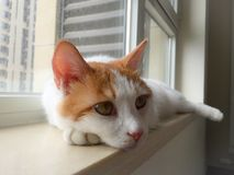 My pet cat. Yanyan lay on the windowsill, and don't know what she was thinking about Stock Images