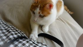 My pet cat. Yanyan pressed the strap on, and don't let other people touch it Stock Image