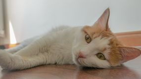 My pet cat. Yanyan was lying on the floor with a sweet languor Royalty Free Stock Images