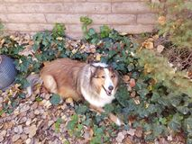 Sheltie in the bush Royalty Free Stock Photography