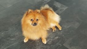 Banard the Pomeranian Stock Photos