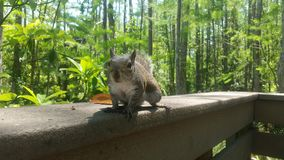 Curious Majestic Squirrel. This is my pet squirrel Terra Royalty Free Stock Images