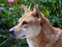 My pet. Thai dog lay down in the garden Royalty Free Stock Image