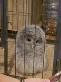 this is my pet ural owl hes so cute n fluffy stock images