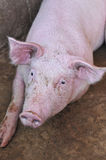 My pig Royalty Free Stock Photography