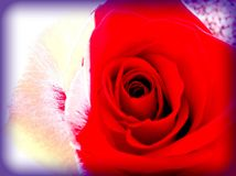 My pretty rose. Gaze close to it& x27;s grace Stock Photography