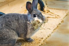 My rabbit with a face full of hay royalty free stock photos