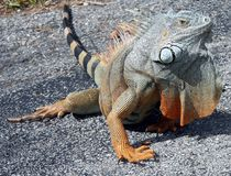 This is my realm !. This huge iguana in West Palm Beach golf course is guarding its territory royalty free stock photo