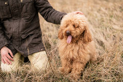 My red poodle Stock Photography