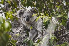 Koala beer in the tree royalty free stock photography