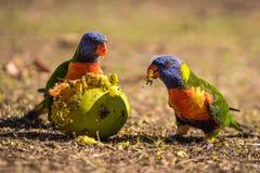 Parrots an their tasty apple royalty free stock photos