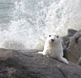 My rock. Seal on rock with wave royalty free stock image