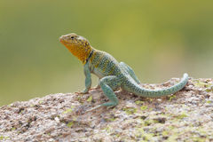 This is my rock. Eastern Collared Lizard on rock during breeding season Royalty Free Stock Photo