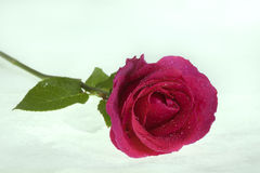 My rose. Beautiful rose is alone , my rose stock photography