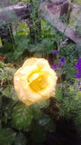 My rose stock photos
