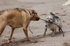 MY Seaweed!!. Two dogs playing on the beach....the little one bearing her teeth and growling ferociously Stock Photography