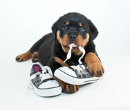 My Shoes!. Silly Rottweiler puppy chewing on a pair of new shoes making a silly face, on a white background Royalty Free Stock Photography