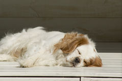 My sleeping King. Our King Charles Spaniel or Cavalier sleeping in the back yard royalty free stock photo