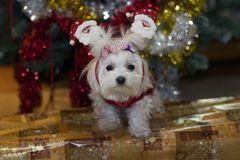 My small white dog with the christmas decorations Stock Photography