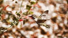 My Strength Is My Weakness. An abstract of a nature scene, where a Hummingbird is having a nectar frenzy Royalty Free Stock Images