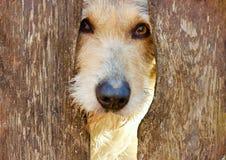 My sweet loyal eyes dog Stock Photography