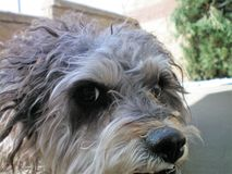 My Terrier Poodle Cuddles Close Up View Royalty Free Stock Photography