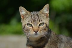 My tiger cat no edit gren eyes Stock Photography