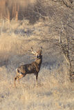 This is my tree. Whitetail Buck Marking overhanging Oak branch with tarsal gland for other bucks to smell Stock Image