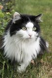 My Turkse Angora cat in the garden Stock Photography