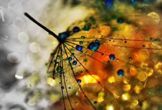 My universe. Dandelion seed sprinkled with colors Royalty Free Stock Photo