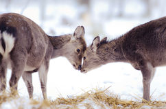 My valentine. Two deers showing their love for each other Stock Images