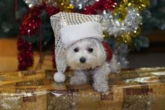 My small white dog with the christmas decorations Royalty Free Stock Images