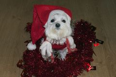 My small white dog with the christmas decorations Royalty Free Stock Photos