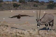 My waterhole, oryx chasing sub adult Bateleur Eagle. Oryx chasing a sub adult Bateleur Eagle from the waterhole in the Kgalagadi Transfrontier Park royalty free stock image