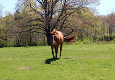 On my way. Brown horse with tail blowing in the breeze across the pasture Royalty Free Stock Photo
