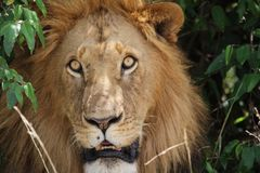 My what big eyes you have. Face of staring  lion in bushes Royalty Free Stock Images