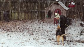 Woman playing with two dogs in the snow. My wife playing with our dogs in the backyard while the first snow of the season comes down hard stock video footage