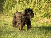 My 16 year old dog. Photo taken home, my dog Eugenie was very playful for her age. Drummondville, Quebec, Canada Stock Photography