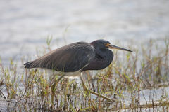Myakka Heron Royalty Free Stock Photos