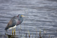 Myakka River. Tricolored Heron at Myakka River State Park in Florida Royalty Free Stock Photos