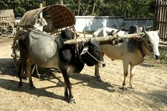 Myanmar, Bagan: Bullock cart Stock Photo