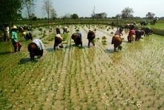 Myanmar bonde som arbetar i ricefield Royaltyfri Fotografi