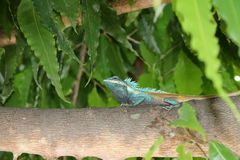 Myanmar chameleon in green color on the branch of tree. It is a small slow-moving Old World lizard with a prehensile tail, long extensible tongue, protruding Stock Images