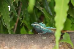 Myanmar chameleon in green color on the branch of tree. It is a small slow-moving Old World lizard with a prehensile tail, long extensible tongue, protruding Royalty Free Stock Photos